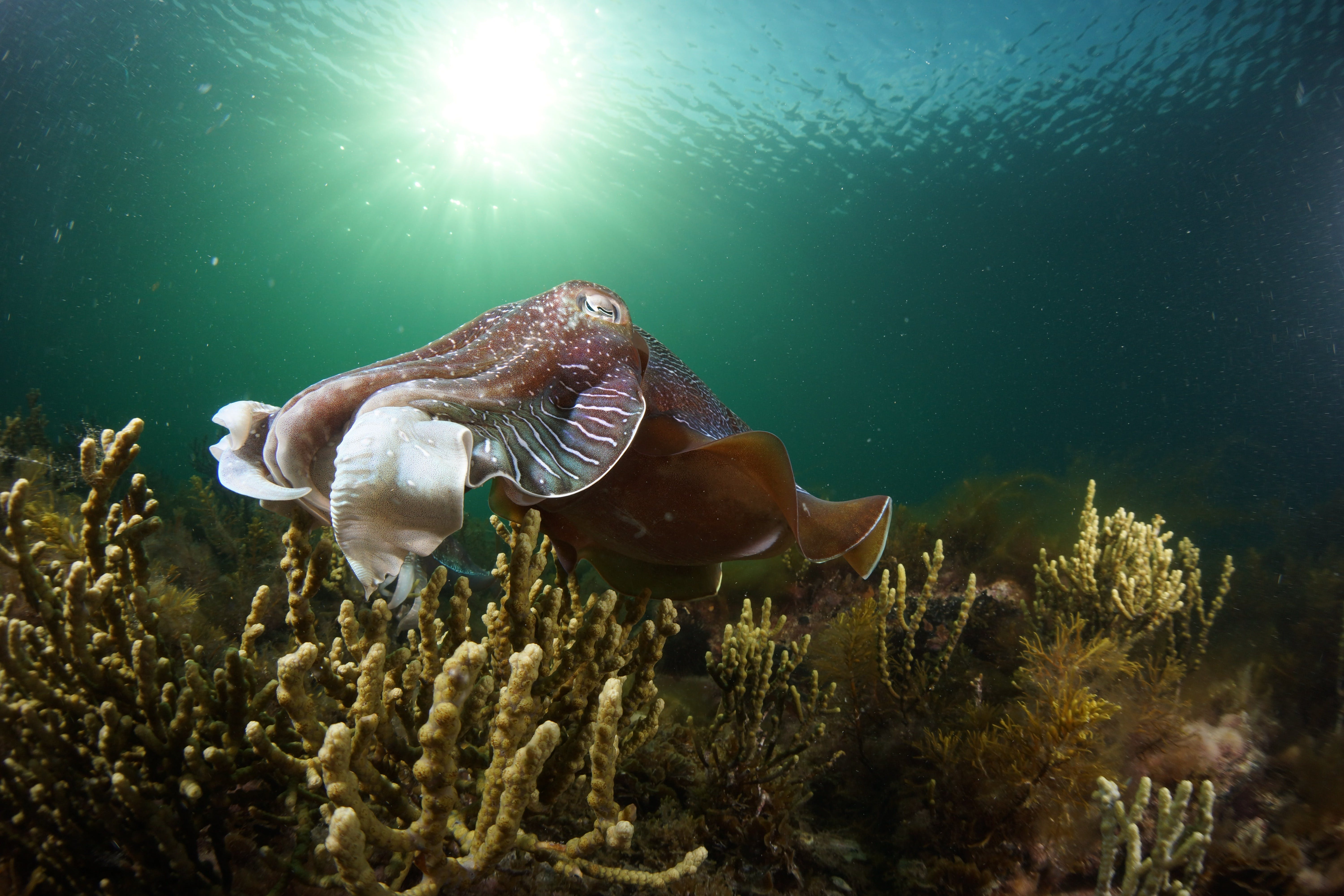 Cuttlefish Diving  Snorkeling EVERYDAY May -August - Restaurant Find